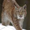 Lynx12